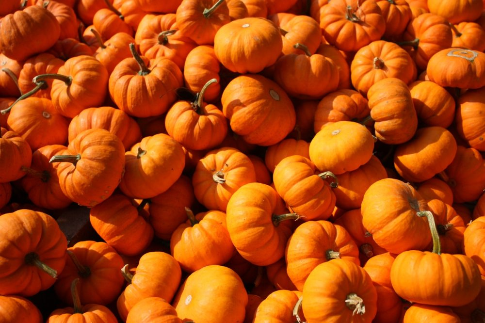 pumpkin field patch orange bundle pumpkins